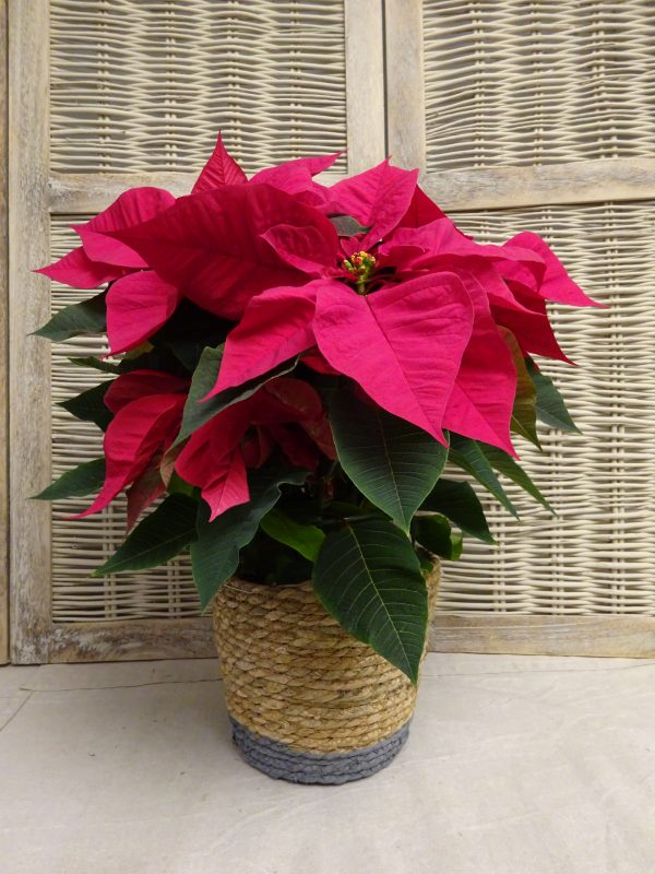 Comprar poinsettia en Madrid