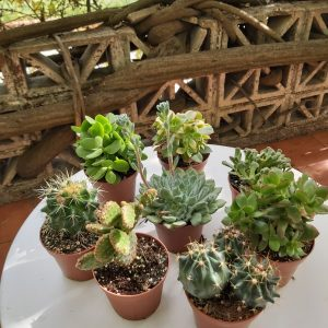 COMPRAR CACTUS MINI EN MADRID